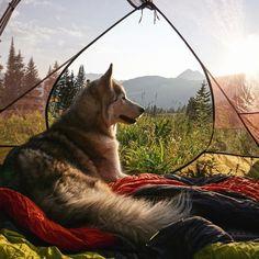 Loki the Wolf Dog