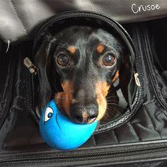Crusoe the Celebrity Dachshund