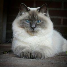 Avel the Siberian Cat