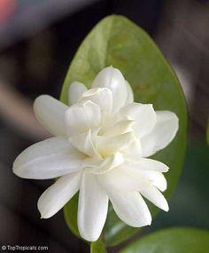 India Jasmijn
