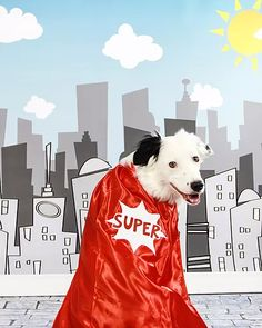 Hero The Super Collie